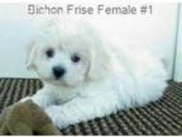 bichon frise kentucky view ad bichon frise puppy for sale tennessee gordonsville usa
