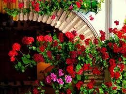 geranien balkon geranien pflanzen blumen in balkonkästen tipps balkon frühling
