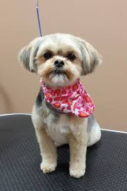 pictures of shorkie dogs with long hair 156 best grooming images on pinterest cute pets fluffy pets and