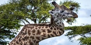 Tout De Meme - blessée depuis cinq ans la girafe au cou tordu