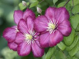 clematis plants for fall u2013 tips on growing late blooming clematis