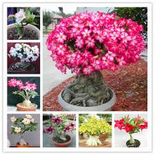 desert seeds potted flowers seeds adenium obesum indoor