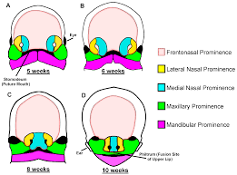 jdb free full text the role of sonic hedgehog in craniofacial