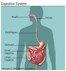 A Picture Of The Human Anatomy The Digestive System Diagram Organs Function And More