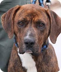 boxer dog for adoption ruger adopted dog crumpler nc plott hound boxer mix