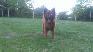 belgian shepherd washington state 26 september 2014 lost u0026 found pets wa state