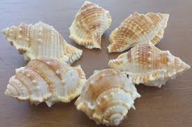 beach decor seashells shells home decor craft shells bursa