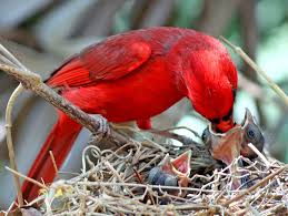 northern cardinals know how to shake their tail feathers feederwatch