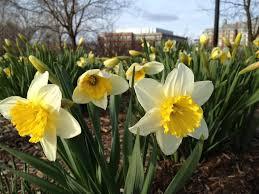 nilsen landscape design naturalizing flower bulbs for early