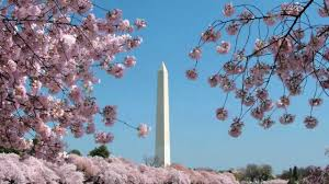 the cherry blossom festival washington dc travel attractions