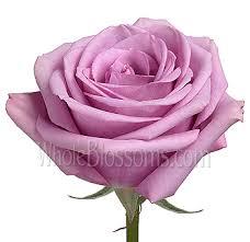 lavender roses bulk cool water lavender roses at wholesale price