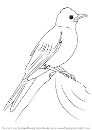 learn draw common bulbul birds step step drawing