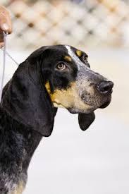 bluetick coonhound nz blue tick hound i want one so bad animals pinterest