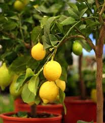 Backyard Fruit Trees Backyard Ideas For Small Yards To Diy This Spring