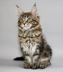 maine coon breeds of cats pets