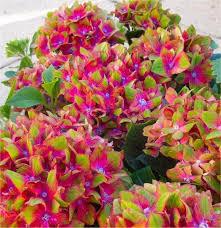 deal hydrangea glam rock pack of three plants