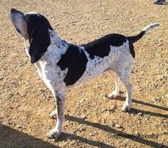 bluetick coonhound figurine bluetick coonhound harrier dog breed information and pictures