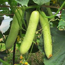 20pcs white cucumber seeds cucumis sativus vegetable fruit home