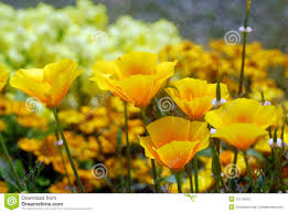 yellow california poppy flower stock photos image 15714533