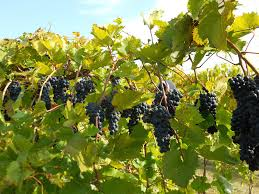 How To Plant A Garden In Your Backyard Growing Grapes For Home Use Yard And Garden University Of