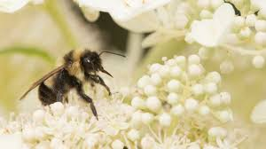 recovery bringing back bumble bees u2013 cool green science