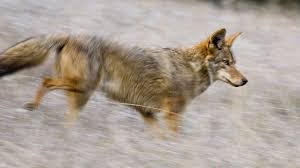 Can Coyotes See Red Light How To Keep Your Pets Safe From Coyotes