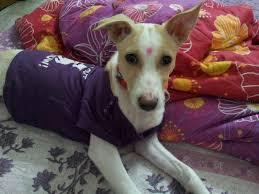 american eskimo dog in india indian pariah dog price in india indian pariah dog puppy for sale