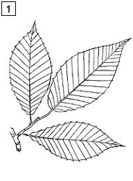 mainefoliage com kids u0027 page maine tree guide