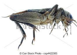 was ist das für ein insekt eine wanze oder was urlaub insekten insekt grille wanze insekt grille weißes freigestellt