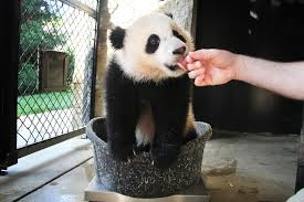 Lights At The National Zoo by Giant Panda Cub Bao Bao Turns 1 At The Smithsonian National Zoo In