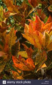 Croton Tropical Plant Croton Plant Codiaeum Variegatum Variegated Leaves George Brown