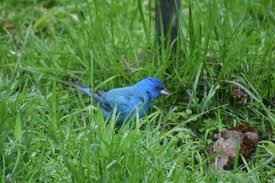 How To Attract Indigo Buntings To Your Backyard An Indigo Bunting For Mother U0027s Day U2013 Gardeninacity