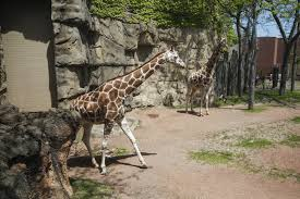 Chicago Lincoln Park Zoo Lights by 28 Year Old Giraffe Dies At Lincoln Park Zoo Chicago Tribune