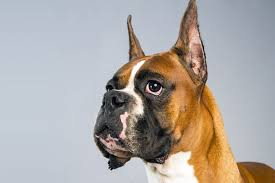 boxer dog female boxer dog breed information american kennel club