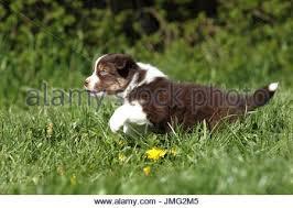 running with australian shepherd puppy australian grass flowering stock photos u0026 australian grass