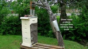 protecting fruit tree from raccoons adventures in natural beekeeping