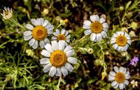 free images grass flower petal spring flora wildflower