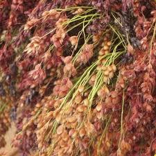vegetables ornamental corn seeds