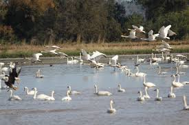 California wildlife tours images Northern california swan tours slated to begin in november cdfw news jpg