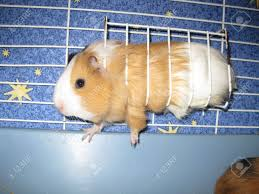 Cages For Guinea Pigs Orange And White Guinea Pig In A Cage Stock Photo Picture And