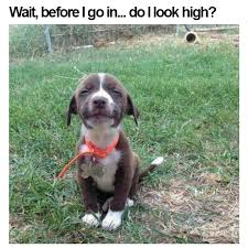 High Dog Meme - dog that looks high justpost virtually entertaining