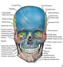 pictures diagram of skull of human human anatomy diagram