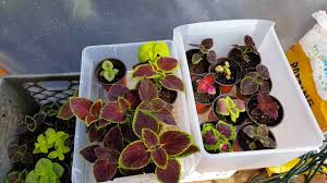 How To Grow Coleus Plants by Jims Wholiest Of Coleus Growing Coleus You Can Do This Youtube