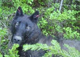 belgian shepherd washington state washington state faces backlash on all sides over wolf killings