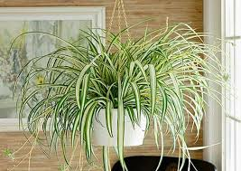 5 ornamental plants to purify indoor air ayurveda and