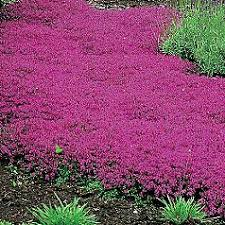 walk on me of thyme creeping thyme to plant in the front