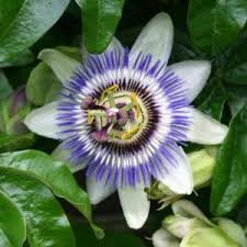 passiflora incense ornamental flower vine