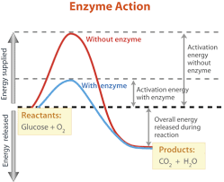 enzymes read biology ck 12 foundation