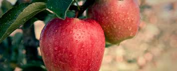 apples bc tree fruits cooperative