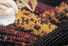 how to plant indian corn in the fall home guides sf gate